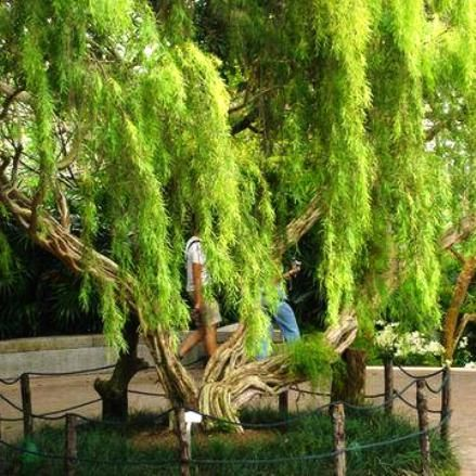 australian native weeping tea tree (leptospermum brachyandrum)