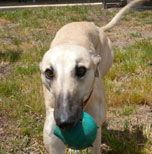Greyhound Adoption - Pet Supplies Online Pet Shop Pet Products Australia