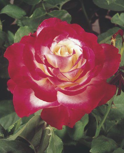 DoubleDelight hybrid Tea Rose