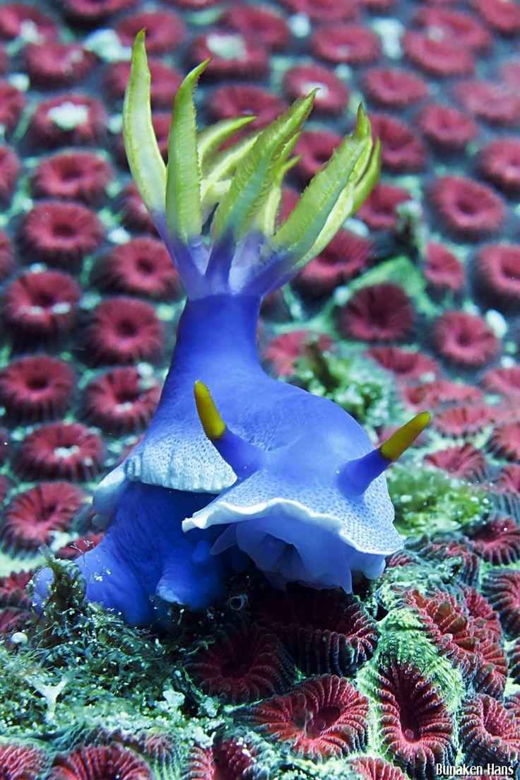 Chromodoris bullochii nudibranch