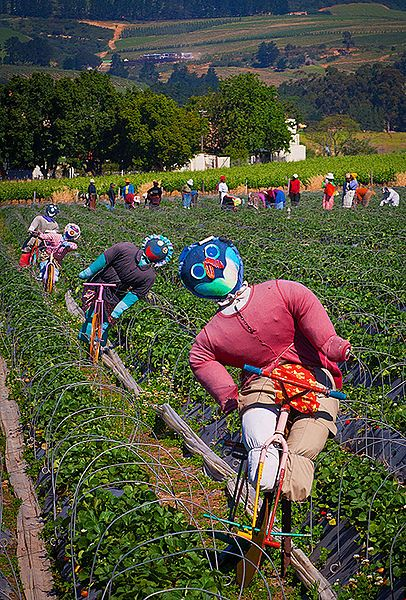 Scarecrows amongst the strawberry fields of Mooiberge, Stellenbosch, Western Cape, South Africa.