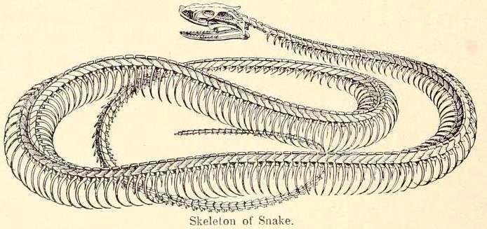 Bare snake
