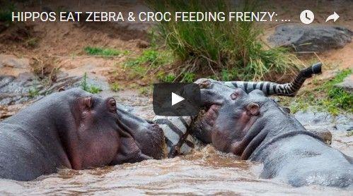 Beautifulplace4travel: HIPPOS EAT ZEBRA & CROC FEEDING FRENZY