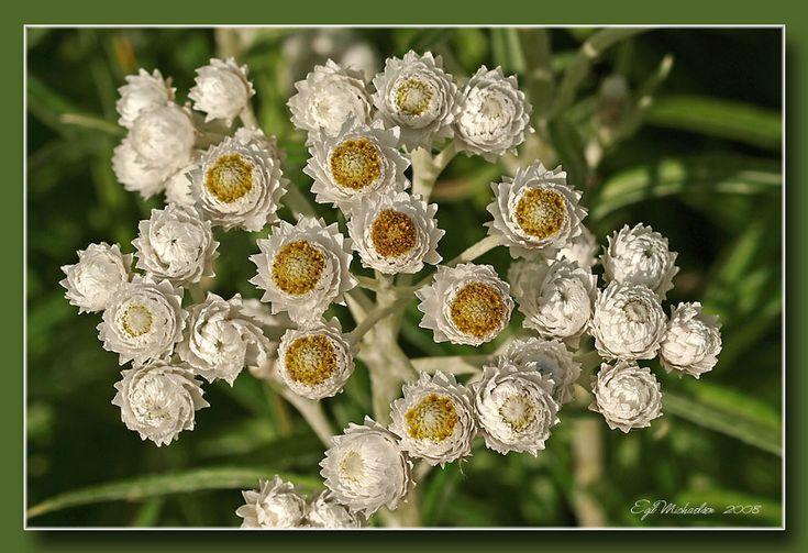 Anaphalis margaritaceaPerleevigblomAsteraceae KurvblomstfamilienSTAUDE Hvit
