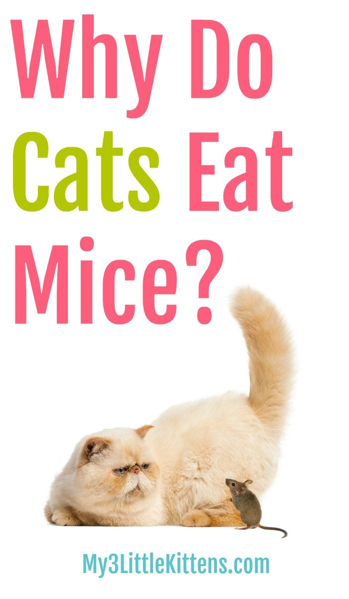 Why Do Some Cats Eat Mice My 3 Little Kittens Cats Little Kittens Cool Cats
