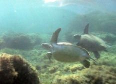 A loggerhead and green sea turtle swim together in Kefalonia   | check it out at wildlifesense.com