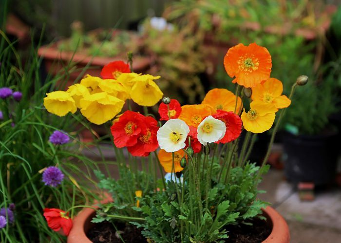 growing poppies in pots