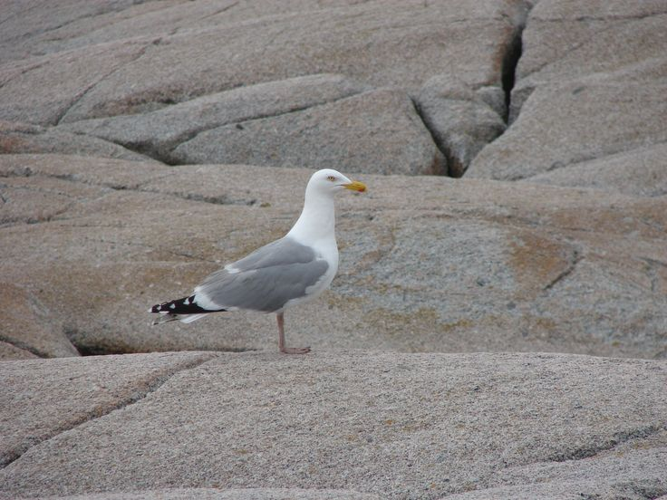 Seagull on the rocks at Peggy's Cove.
