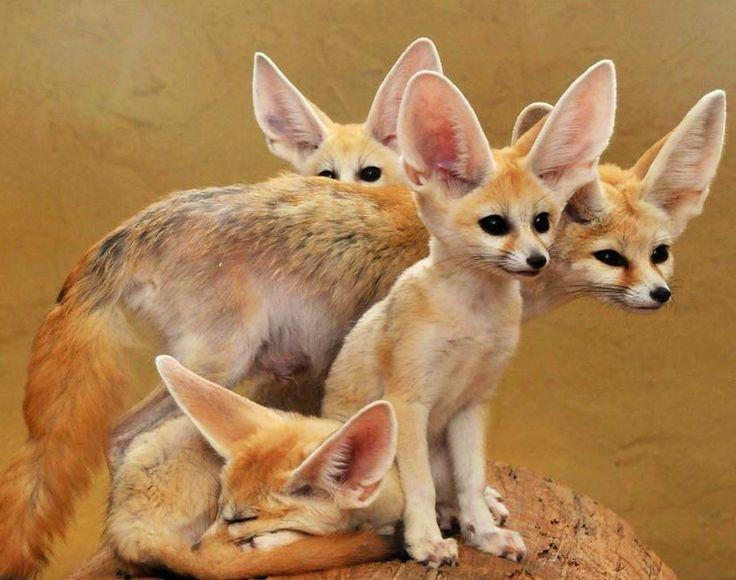 O feneco encontrado em regi es des rticas - Pagina da colorare fennec fox ...