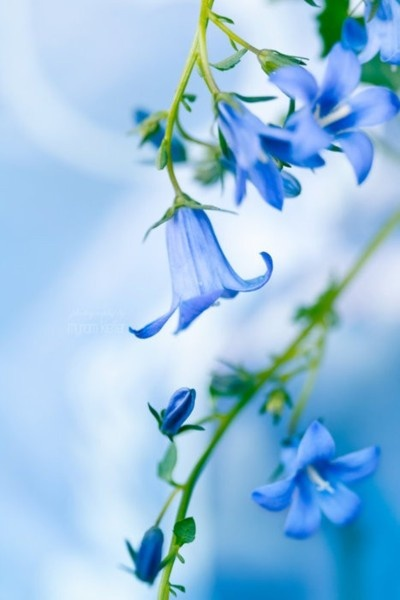 Blue bells: White Flowers, Blue Belle, Spring Flowers, Blue Flowers, Blue Sky, Mornings Glories, Colors Photography, Beautiful Flowers, Colors Blue