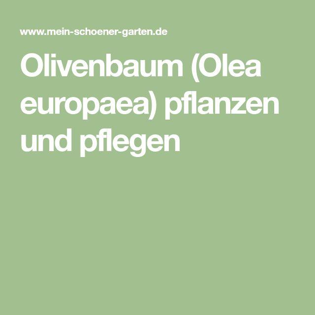 Olivenbaum (Olea europaea) pflanzen und pflegen