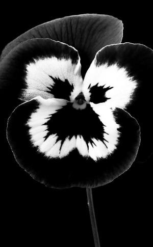 Flower in Black & White   MMMBOP flower