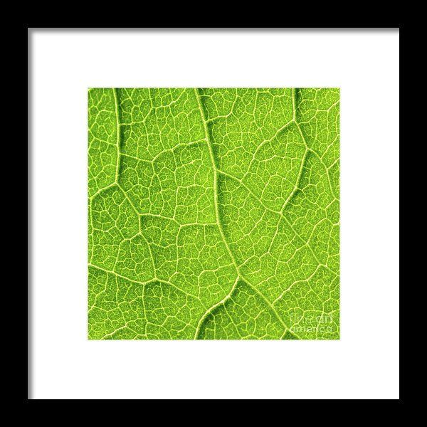 Green Leaf Texture With Visible Stomata Covering The Outer Epidermis Layer Framed Print