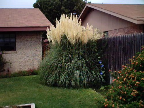 28 best landscaping with arborvitae images on pinterest for Ornamental grasses that stay green all year