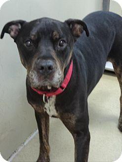 Escondido, CA - Rottweiler/American Staffordshire Terrier Mix. Meet Duke, a dog for adoption. http://www.adoptapet.com/pet/18521114-escondido-california-rottweiler-mix