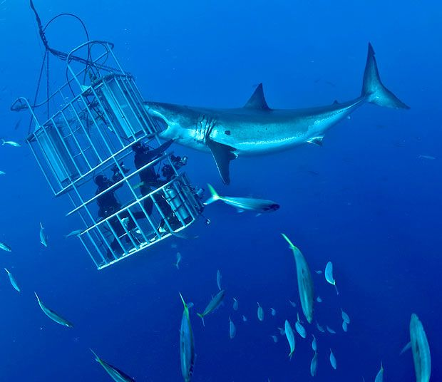 This diver stares into the jaws of death as he fends off a Great White shark, pushing its snout, then putting his hand in its mouth. These amazing pictures, taken from a nearby cage, were taken off Guadeloupe Island, Mexico by Don Carpenter