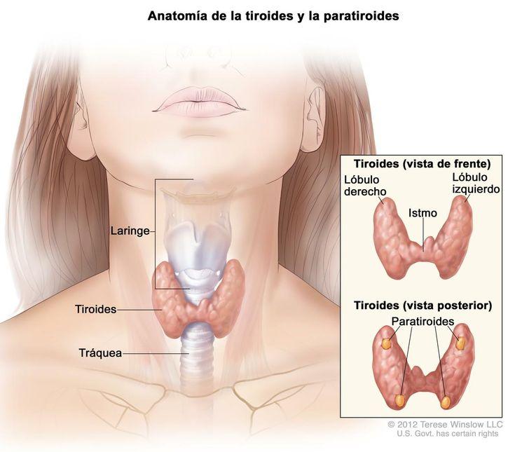 Las enfermedades del tiroides son mucho más comunes de lo que pensamos, aquí tienes algunos consejos para cuidarlo.