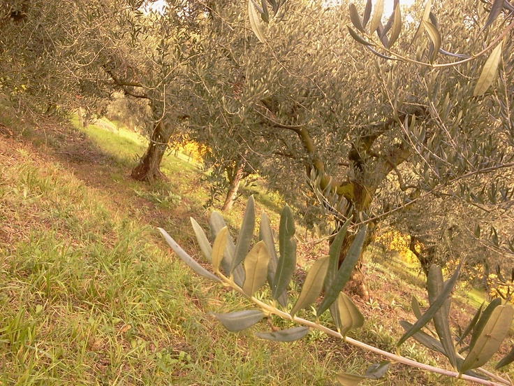 The ancient olive trees in the hills of Brisighella