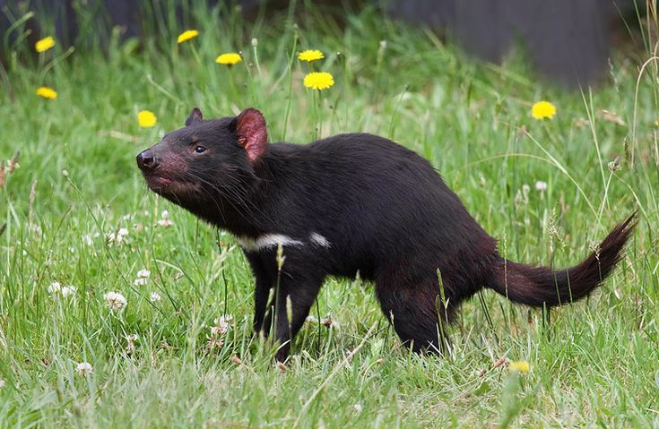 Тасманийский дьявол (Sarcophilus harrisii). Автор фото: JJ Harrison