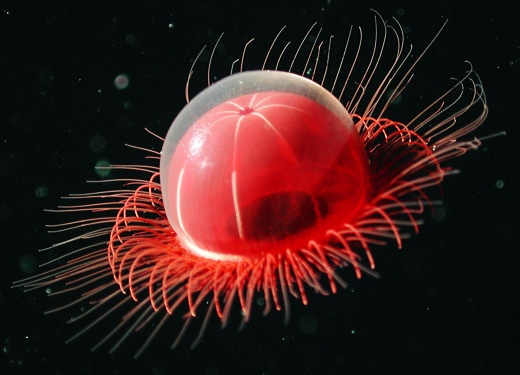 Better and New Video of the Enigmatic Placental Jellyfish - www.scoop.it/... 2