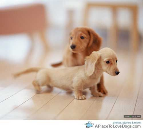 double the cute=double the trouble: Weenie Dogs, Dachshund Puppys, Long Hairs, Weiner Dogs, Little Puppys, Wiener Dogs, Sausages Dogs, Hot Dogs, Animal