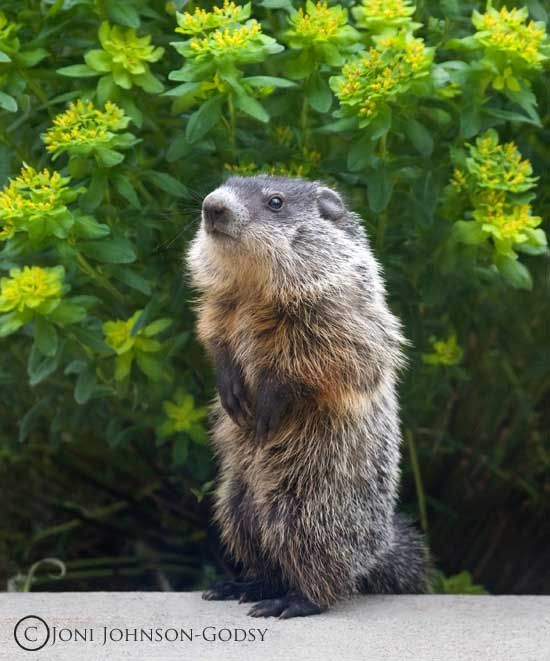Inquisitive Baby Groundhog