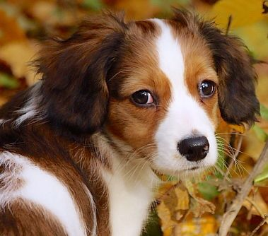 The Kooikerhondje will not always immediately like strangers, instead choosing to retreat. But once they warm up to someone, the trust will be there for the rest of their life. The Kooikerhondje can make fine apartment dogs if exercised regularly, but a fenced yard would be more ideal. They have a medium energy level, yet are  usually quiet when indoors.