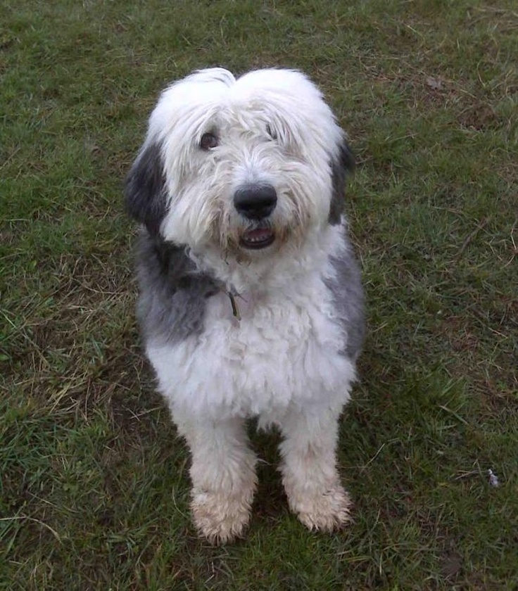 ... | Dogs: Rare Breeds in Rescue | Pinterest | Maxis and Dogs