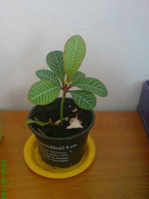 Euphorbia leuconeura Pryšec pěstování