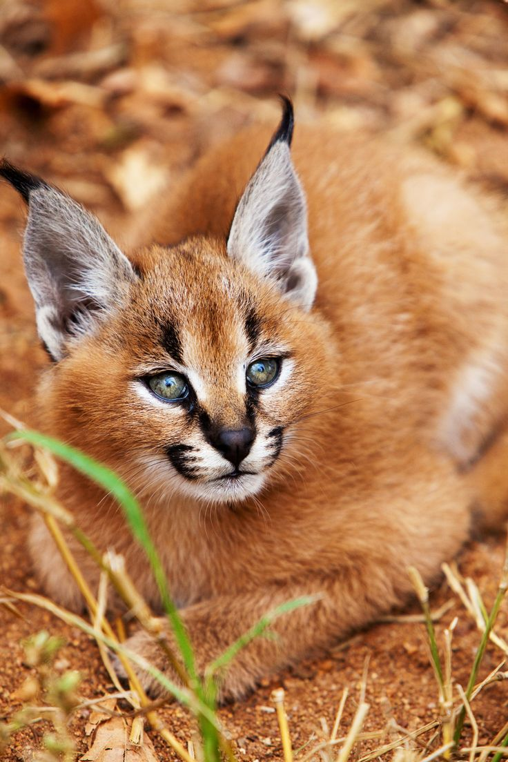 "Africa | ""Caracal Kitten""  Kruger National Park, South Africa 