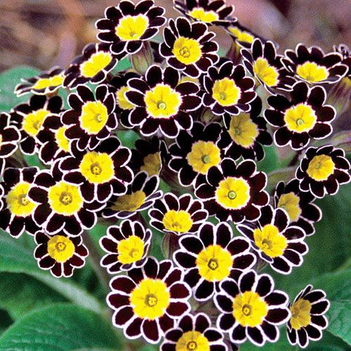 Bumble Bee Primrose (63004) - Michigan Bulb - good for zone 3