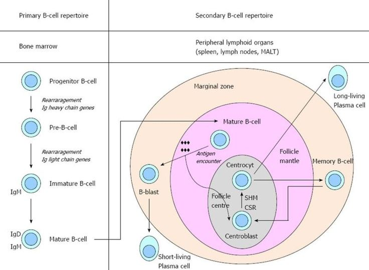 B Cell Activation Germinal Center 25+ Best Ideas about G...