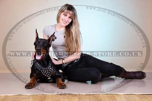 Harness for Doberman Walks  #doberman #dogsuk #beautiful #dogharness