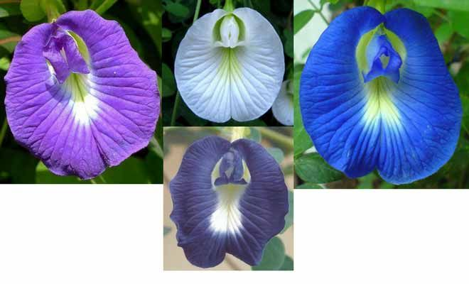 Clitoria Ternatea Medicinal Uses Health Benefits And Side Effects In 2020 Medicinal Plants Pea Flower Butterfly Pea Flower