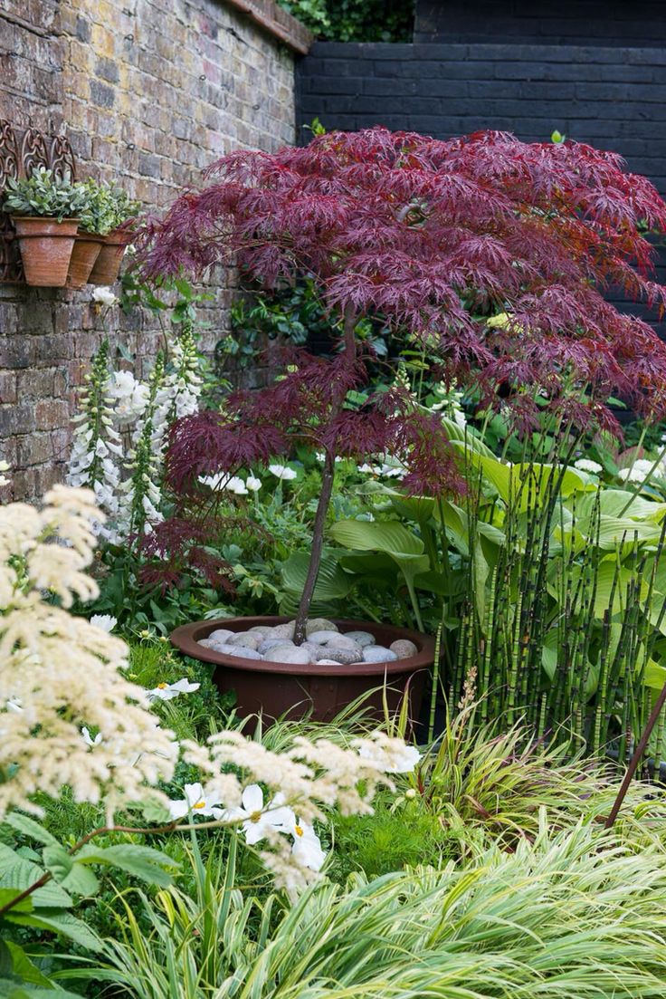 25+ Best Ideas About Japanese Maple Trees On Pinterest