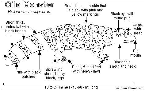 Gila Monster Printout- EnchantedLearning.