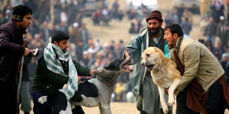Hayvan sömürü yollarından sadece biri: Köpek dövüşleri-  #hayvanhakları