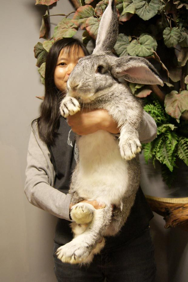 Flemish Giant, the largest breed of domestic rabbit, could weigh 30 ...