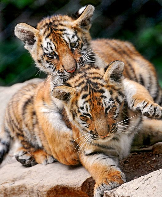 baby-tigers
