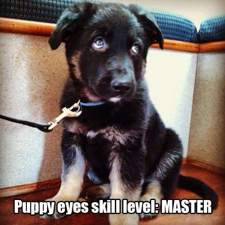 Puppy eyes skill level: Master. Could you say no?? #dogs #doglovers #germanshepherd #puppies