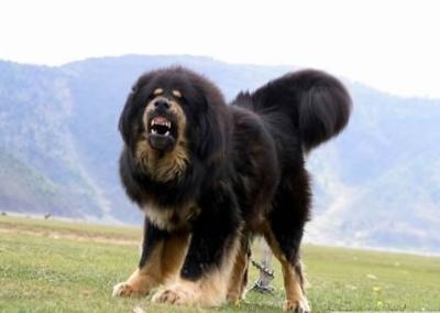 Tibetan Mastiff. Next dog maybe ?? Way down the line.