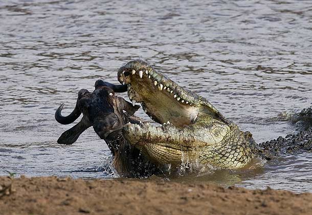 Recent Croc Attacks | The Nile Crocodiles that reside in ...