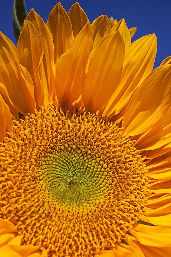 ✯ Sunflower Petals Close Up