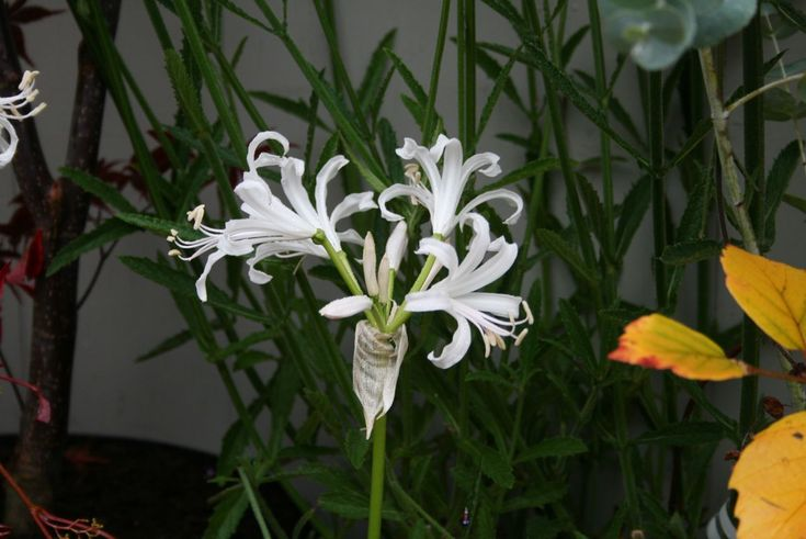 Nerine bowdenii 'Alba': autumn colour in the garden - dyg.ie, Ireland's online garden centre: http://www.dyg.ie