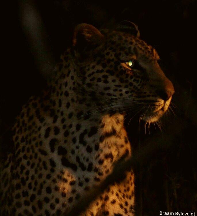 Leopards PHOTOGRAPHY BY BRAAM BYLEVELDT, SABI SANDS, SOUTH AFRICA