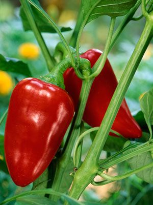 6 simple steps to growing great peppers.