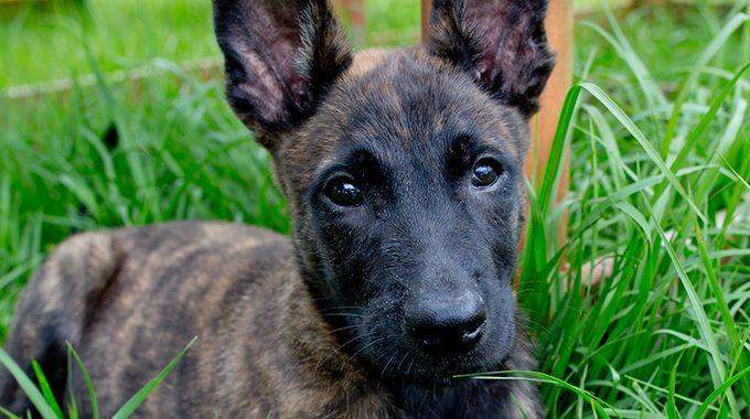 Dutch Shepherd Puppy for Sale