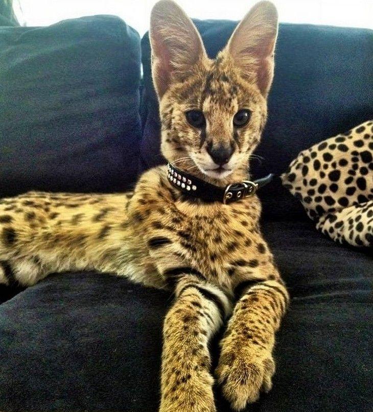 19 najdroższych kotów z całego świata