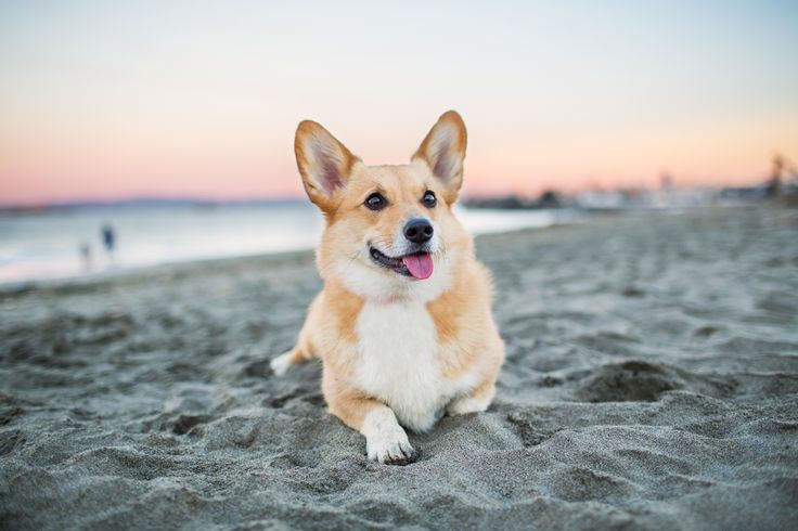 Corgi on the Beach