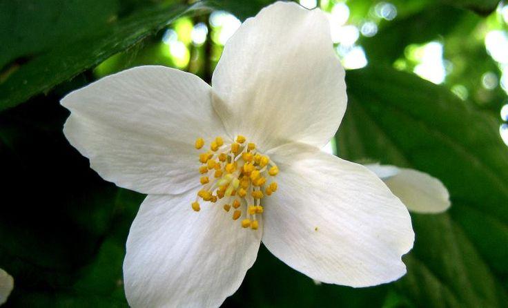 Nalewka jaśminowa działa pobudzająco na zmysły i dodaje energii. W Polsce ma bardzo długą tradycję. Aby ją przygotować, potrzebujemy pół słoja płatków z kwiatów jaśminu, litr spirytusu (70 proc.), 0,5 l wody, 2 łyżki soku z cytryny